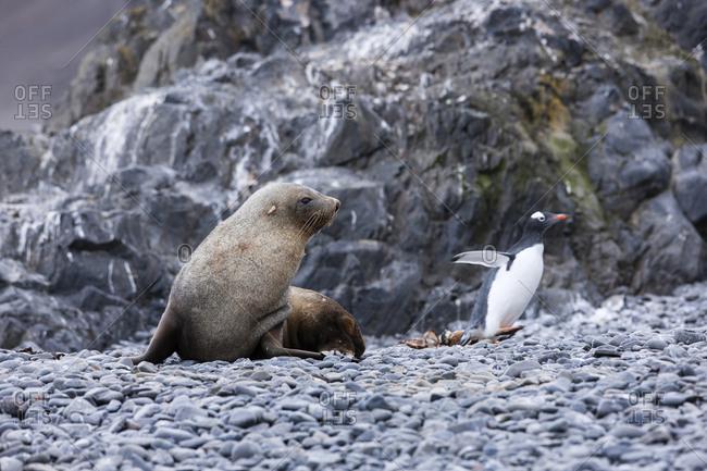 Antarctic fur seal- Arctocephalus gazella- hunting gentoo penguin- Pygoscelis papua