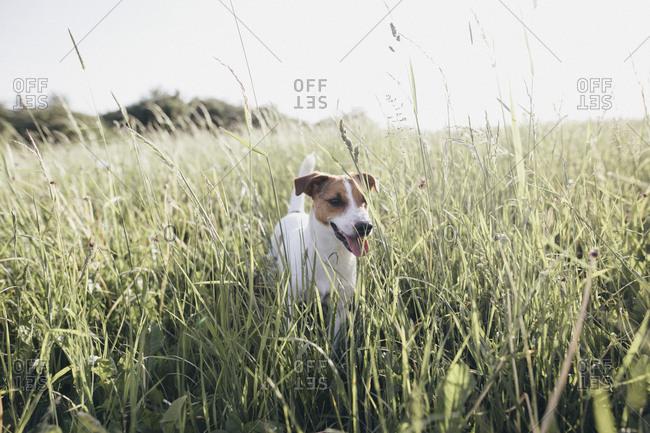 Jack Russel Terrier on a meadow