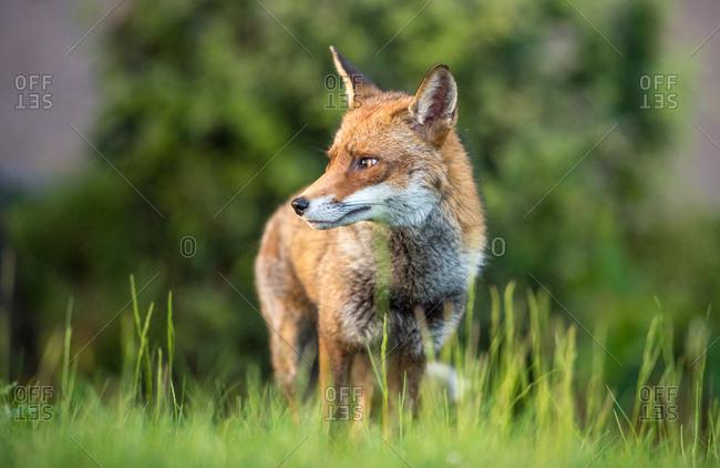 Urban fox, United Kingdom, Europe