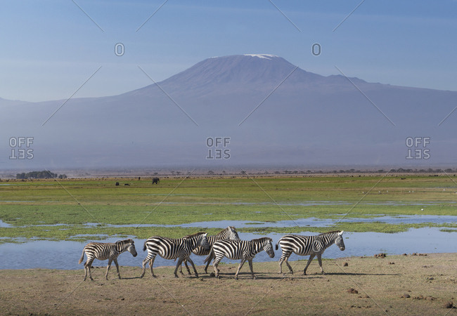 Zebras under Mount Kilimanjaro in Amboseli National Park, Kenya, East Africa, Africa