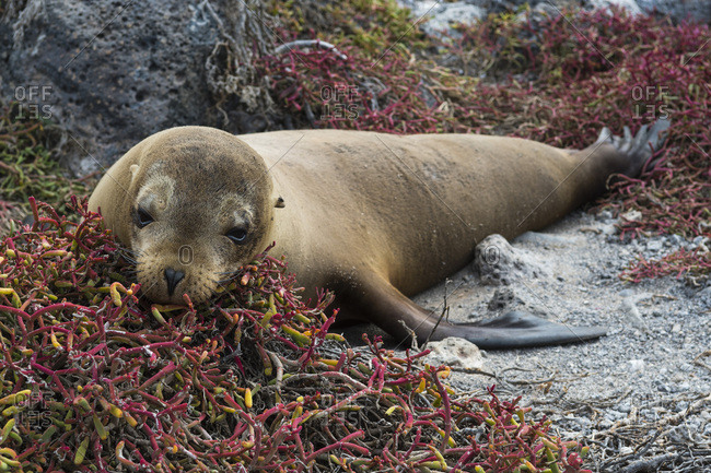 Portrait of a Galapagos sea lion (Zalophus californianus wollebaeki), South Plaza Island, Galapagos Islands, UNESCO World Heritage Site, Ecuador, South America