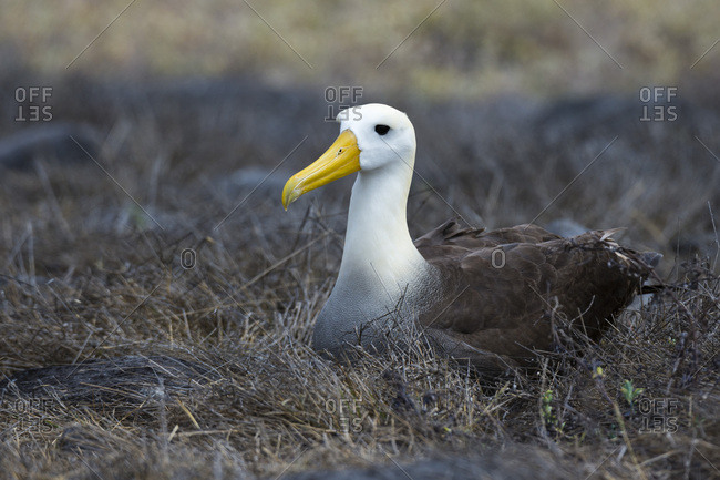 Portrait of a waved albatross (Diomedea irrorata) sitting on nest, Espanola Island, Galapagos Islands, UNESCO World Heritage Site, Ecuador, South America