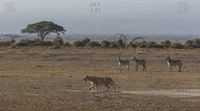 Zebras watching a lioness in Amboseli National Park, Kenya, East Africa, Africa