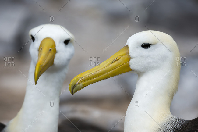 Pair of waved albatross (Diomedea irrorata), Espanola Island, Galapagos Islands, UNESCO World Heritage Site, Ecuador, South America