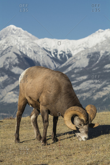 Rocky Mountain Bighorn Ram grazing with mountains in background (Ovis canadensis), Jasper National Park, UNESCO World Heritage Site, Alberta, Canada, North America