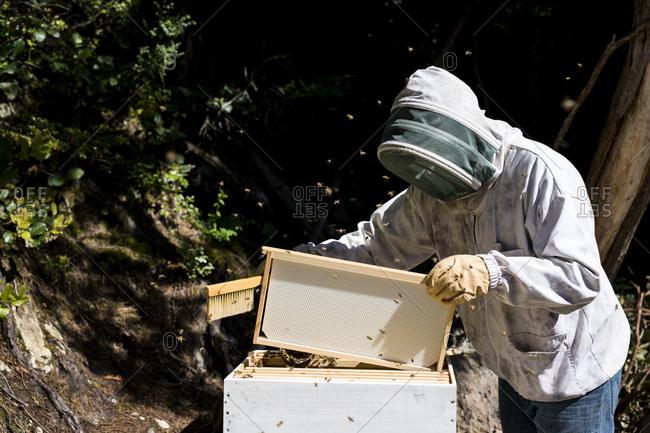Beekeeper inspecting beehive