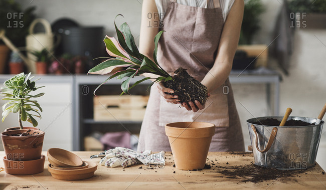 Hands of unrecognisable woman florist holding plant with soil and root for planting