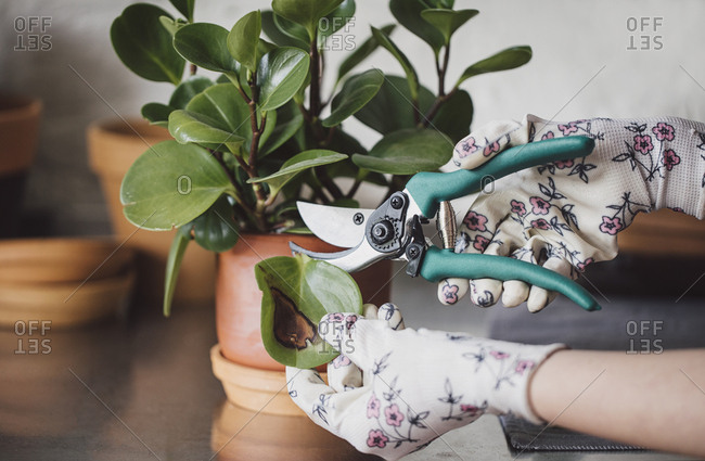 Hands of unrecognisable woman florist cutting leaf with gardening shears