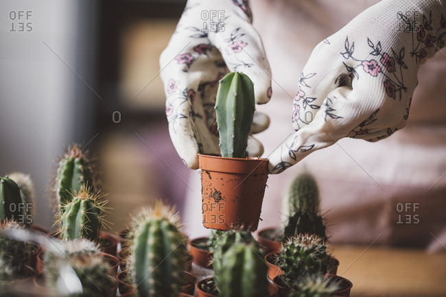 Hands of unrecognisable woman florist planting cactuses in small pots