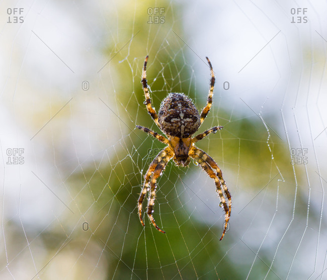 Cross spider with morning dew