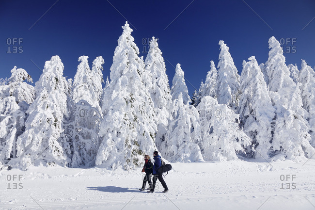 Winter scenery with snow covered firs, Schauinsland, Black Forest, Baden-Wurttemberg, Germany