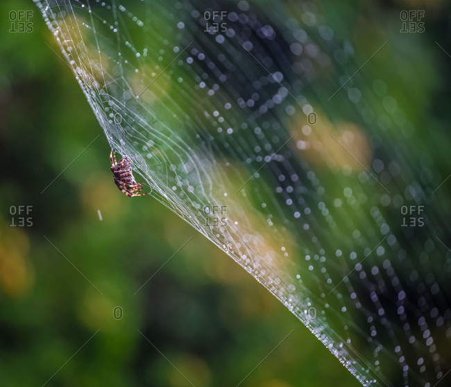 Spider in the spiderweb