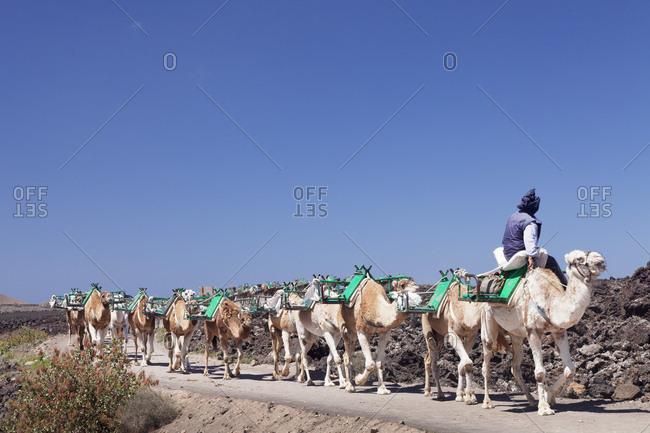 Dromedary caravan in the national park Timanfaya, Lanzarote, Canary islands, Spain