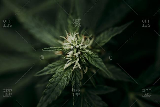 Close up of a bud on a marijuana plant