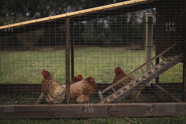 Group of hen grazing in the pen