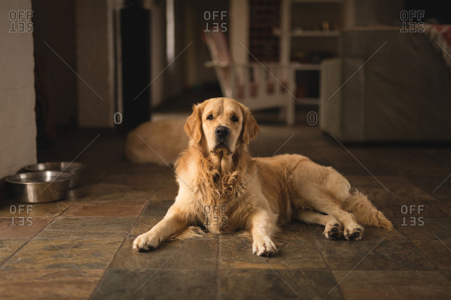 Labrador dog relaxing a home