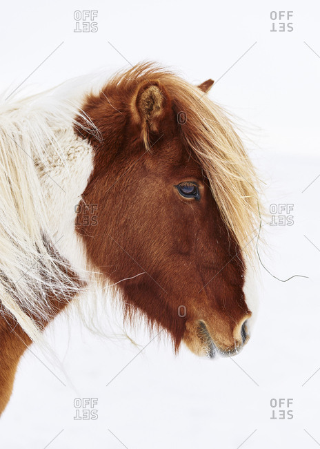 Brown Icelandic horse on white background