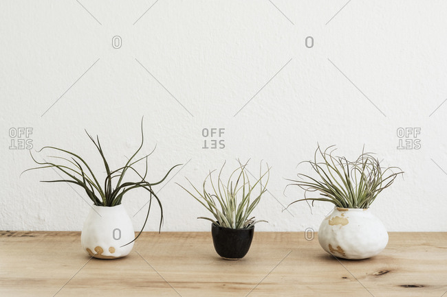 Close up of three varieties of air plants in terracotta pots on a wooden shelf