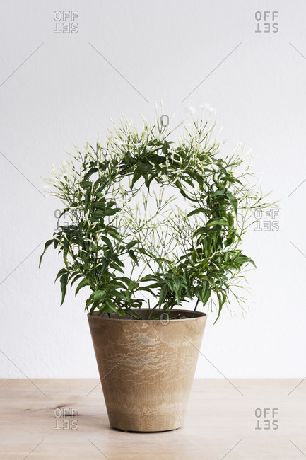 Close up of plant with delicate white flowers in a terracotta flower pot on wooden shelf