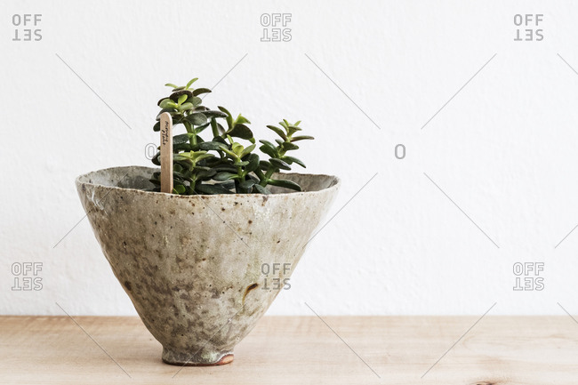 Close up of a money tree in a terracotta pot on wooden shelf