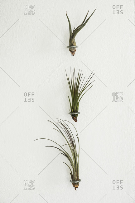 Close up of three air plants on white background