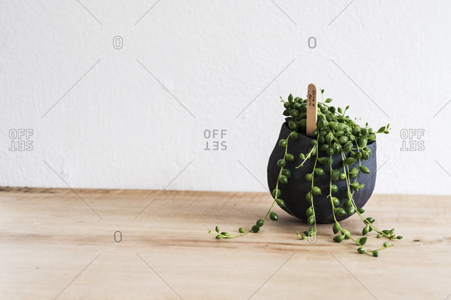 Close up of a String of Pearls plant in a terracotta pot on wooden shelf