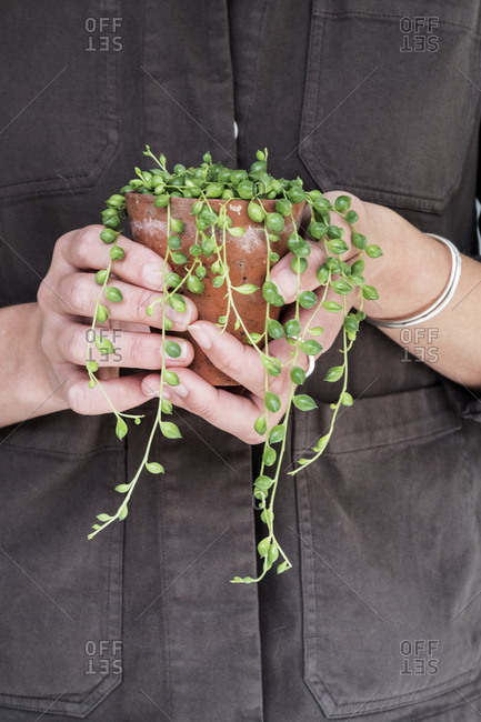 Close up of woman holding String of Pearls plant in terracotta pot