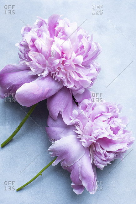 Close up of peony flowers