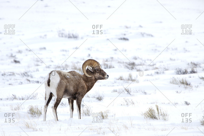 Bighorn sheep standing on snow covered landscape