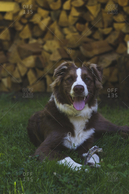 Australian shepherd dog relaxes in the shade in front of stacked wood