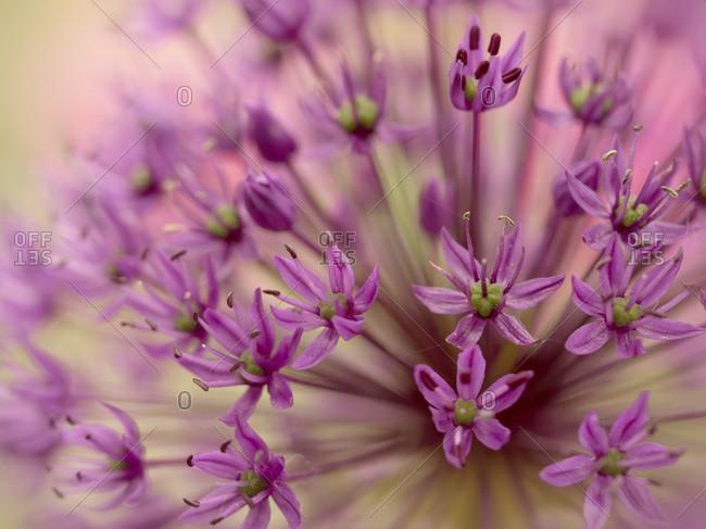 Great lilac-purple spherical allium- Allium hollandicum