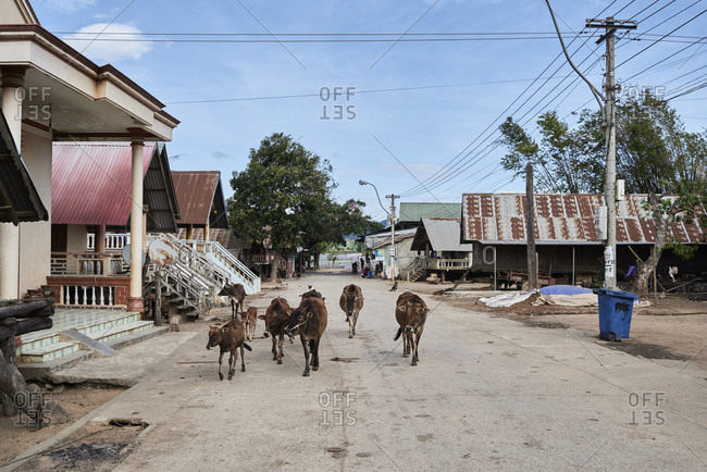 Central Highlands, Vietnam - January 10, 2018: Little cows walking around small village