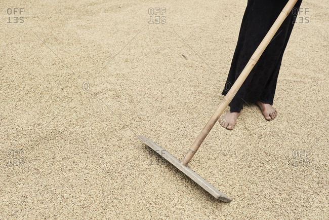 Unrecognizable woman drying rice spread on the floor with stick, Central Highlands, Vietnam