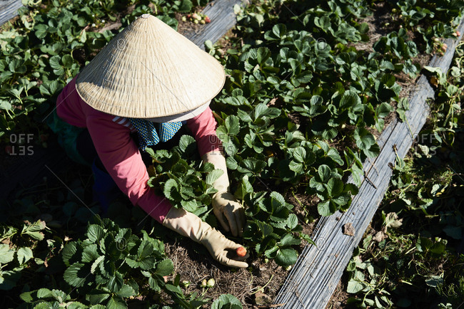 Overhead of Vietnamese woman working during strawberry harvest in a farm, Central Highlands, Vietnam