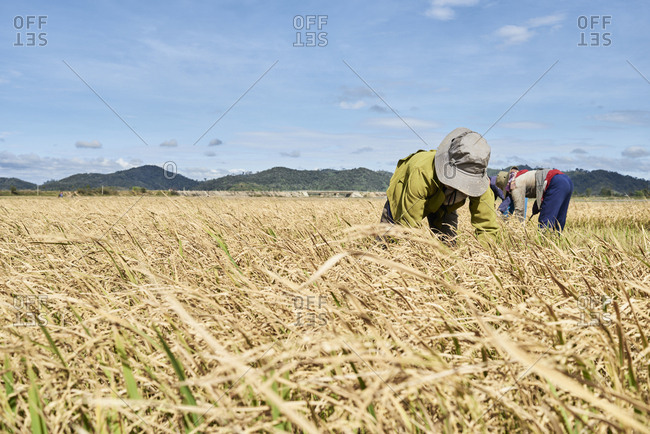 Unrecognizable local Vietnamese farmers working on rice fields wearing cap Central Highlands, Vietnam