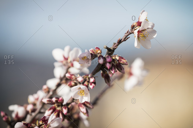 Close up of blossoming almond tree with focus on foreground