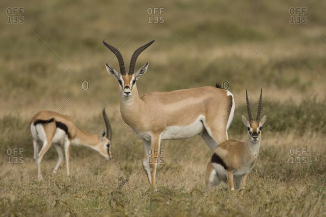 Male Thomson's gazelle, Gazella thomsoni, with two smaller females.