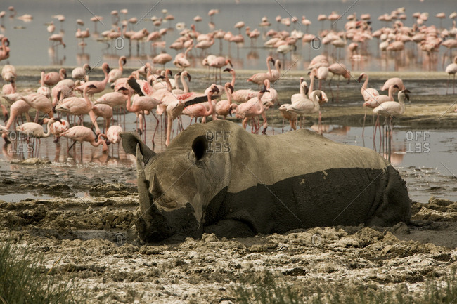 A white rhinoceros wallowing in mud and a flock of pink flamingos.