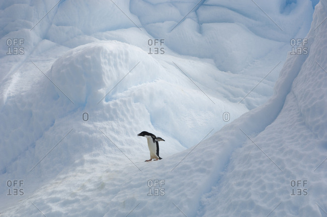 Adelie penguin standing alone on an iceberg.