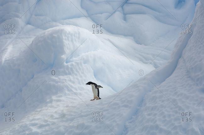 Adelie penguin standing alone on an iceberg.