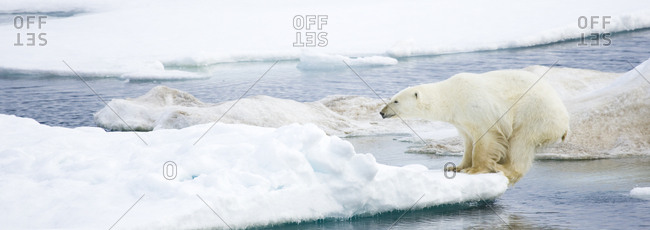 Polar bear, Ursus maritimus, on pack ice at water's edge.