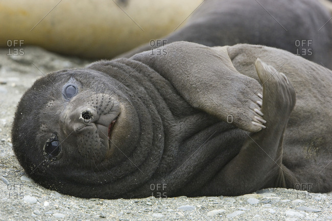 Elephant seal pup resting on a beach.