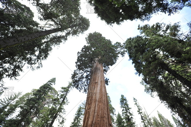 The General Sherman Tree, the largest living giant sequoia tree.