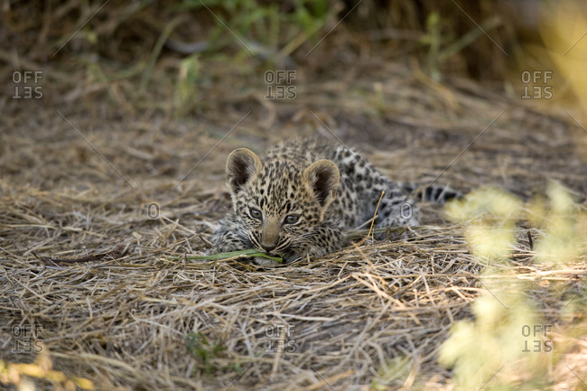A leopard cub playing with a blade of grass.