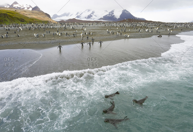 King penguins walking on beach and southern fur seals frolic in surf.