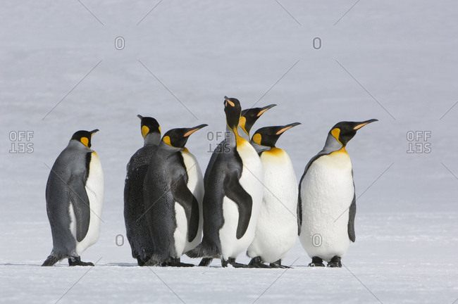 King penguins out for a stroll in the snow.