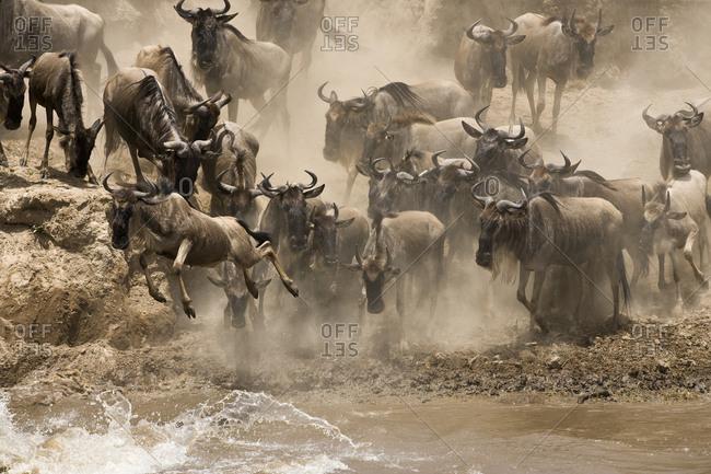 Wildebeest preparing to cross the Mara River.