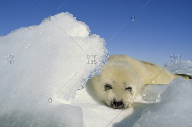 A baby harp seal resting behind a piece of jutting sea ice.
