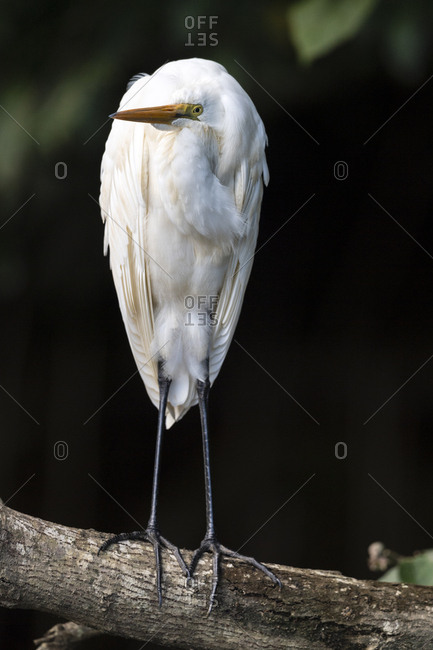 An Eastern Great Egret roosting on a mangrove branch above a river.