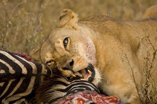 African lioness, Panthera leo, gnawing on a zebra carcass.
